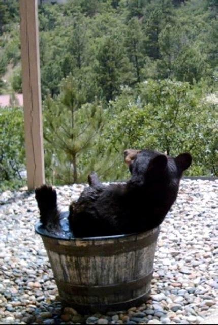 Bear in water barrel