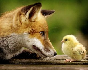 A case of the Fox Guarding the Hen House