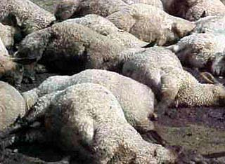 New Threat from GMOZ Telling it like it is.These sheep aren't listening, their dead after eating MonSatan GMOZ Alflafa