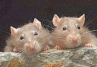 Rats of Glowing Concern