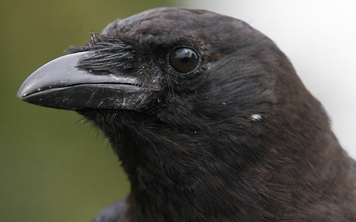 The Eye of a Crow