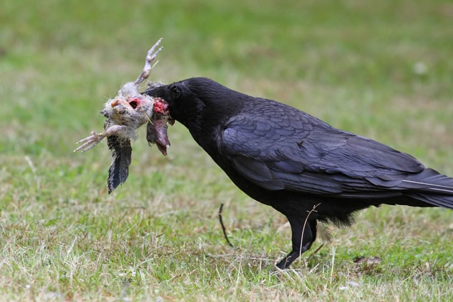 Crow with something in it's mouth