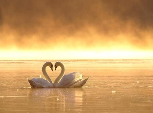 Swans showing the sign of love