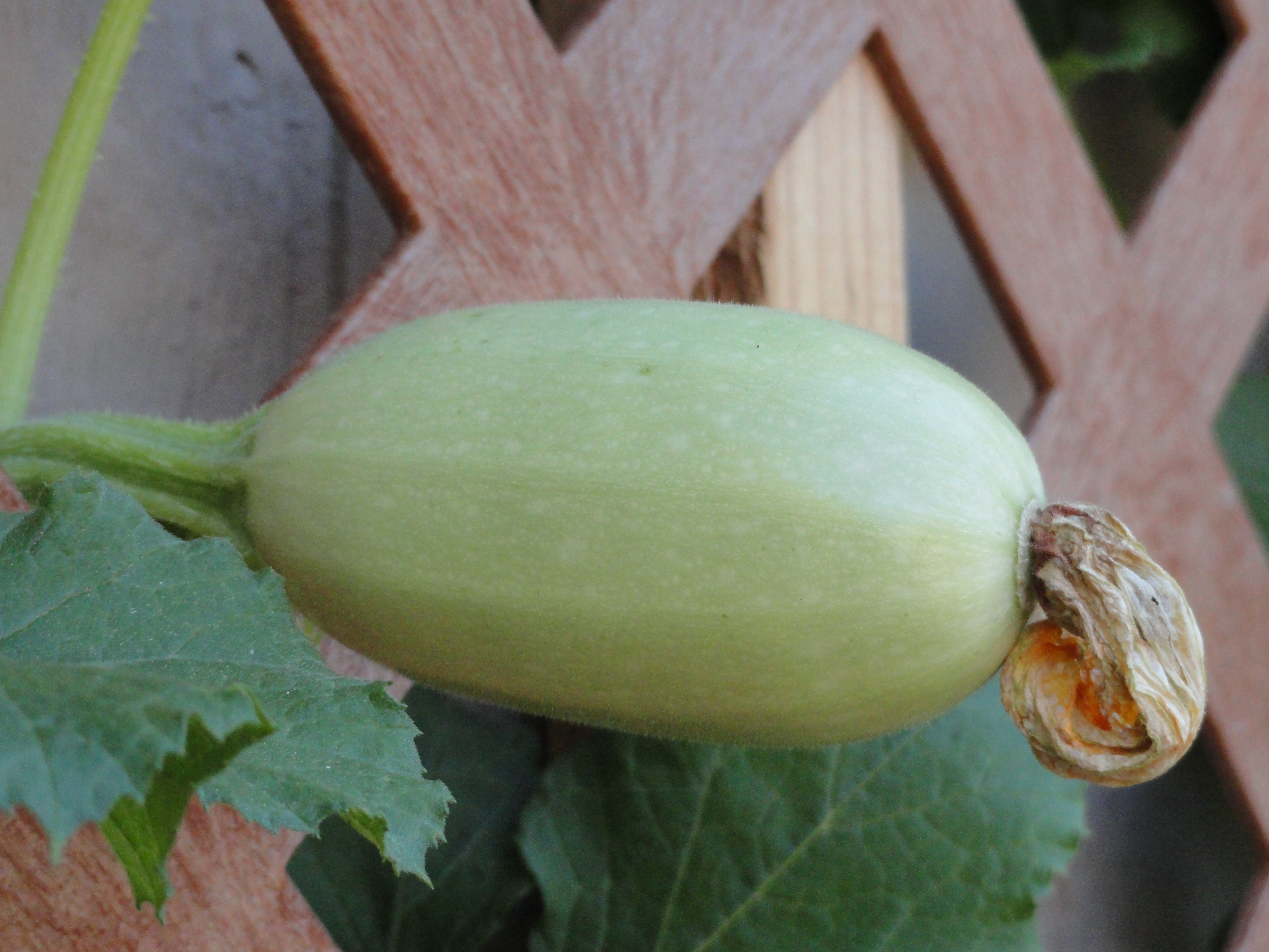 Diddling your Squash Squash in the making