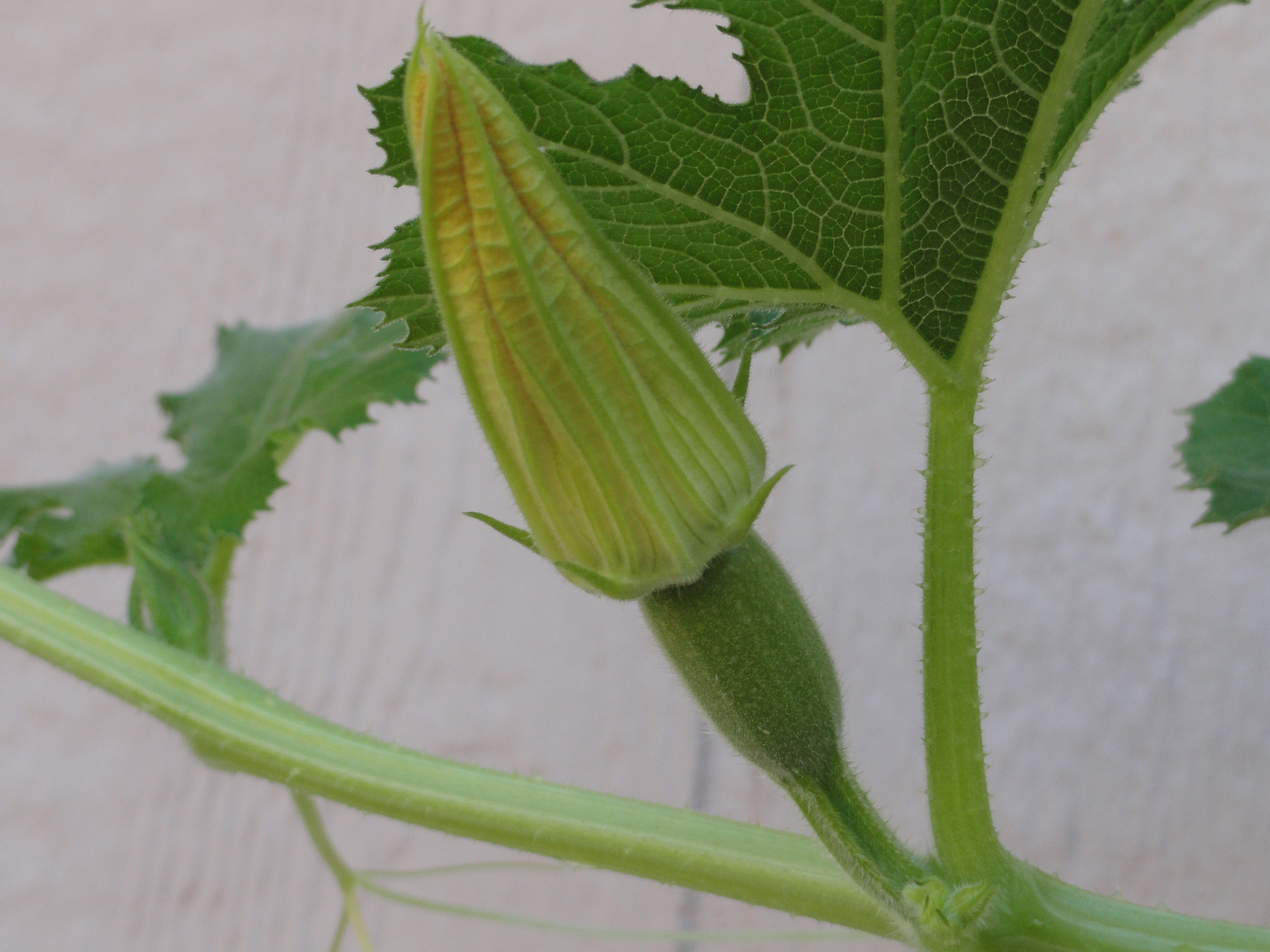 Female Squash Plant ready to be diddled