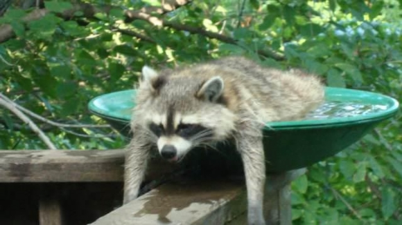Lazy Raccoon