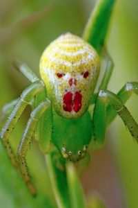 Spider with alien face