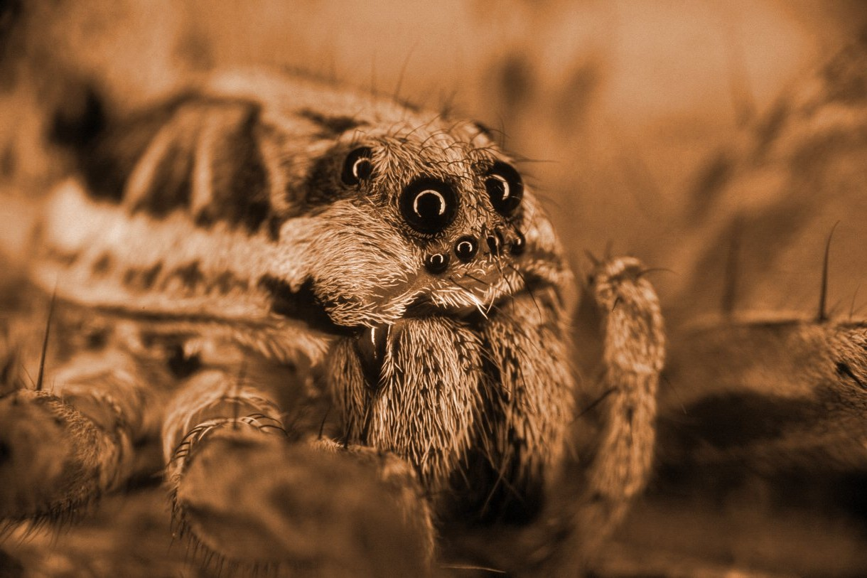 Spider face
