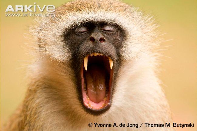 Yawning Monkey