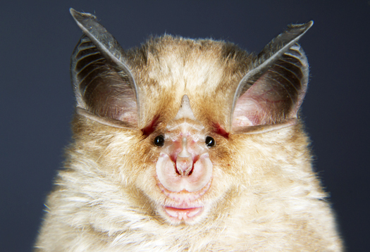 Bat Face Closeup