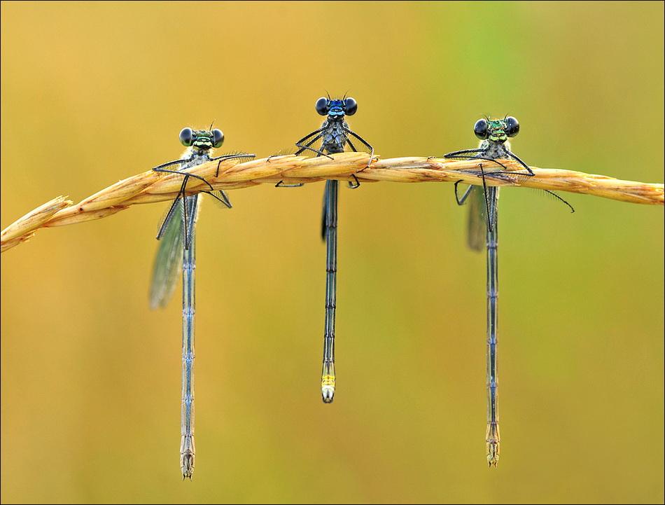 Hanging Dragonflies