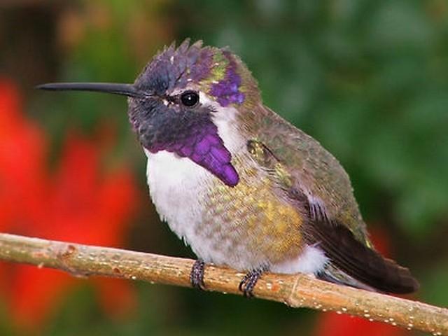 hummingbird medicine