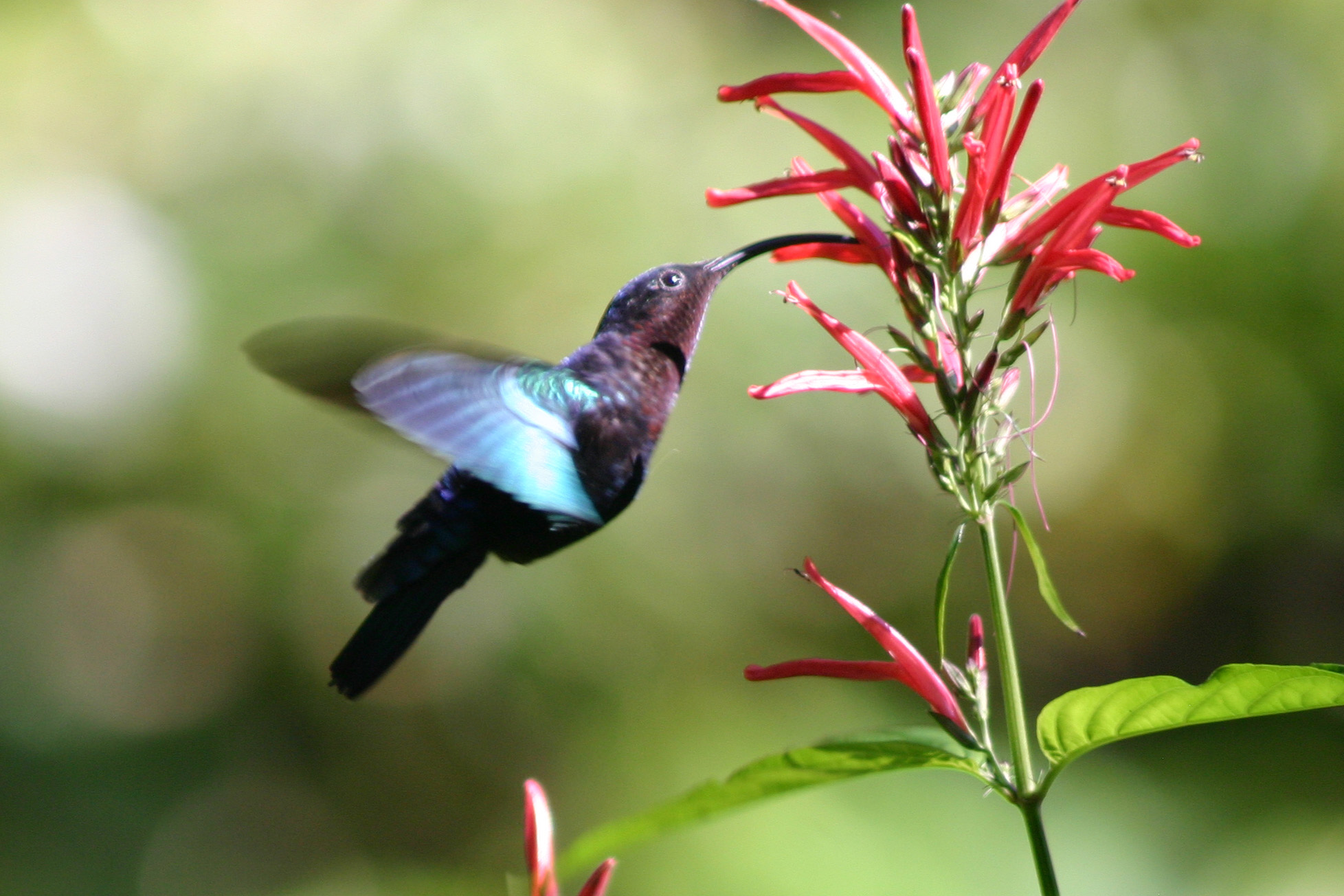Hummingbird enjoying