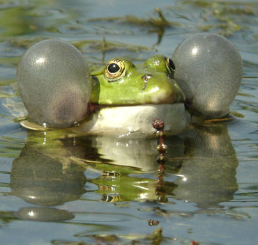 Frog in pond learning to swim