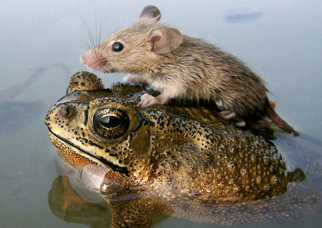 Mouse on Frogs back in water