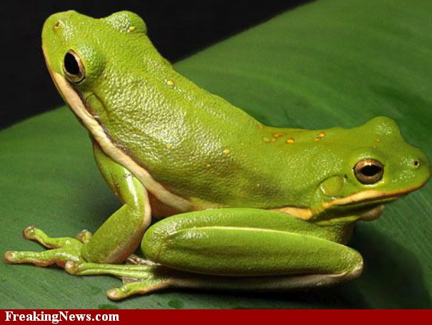 Two headed Frog