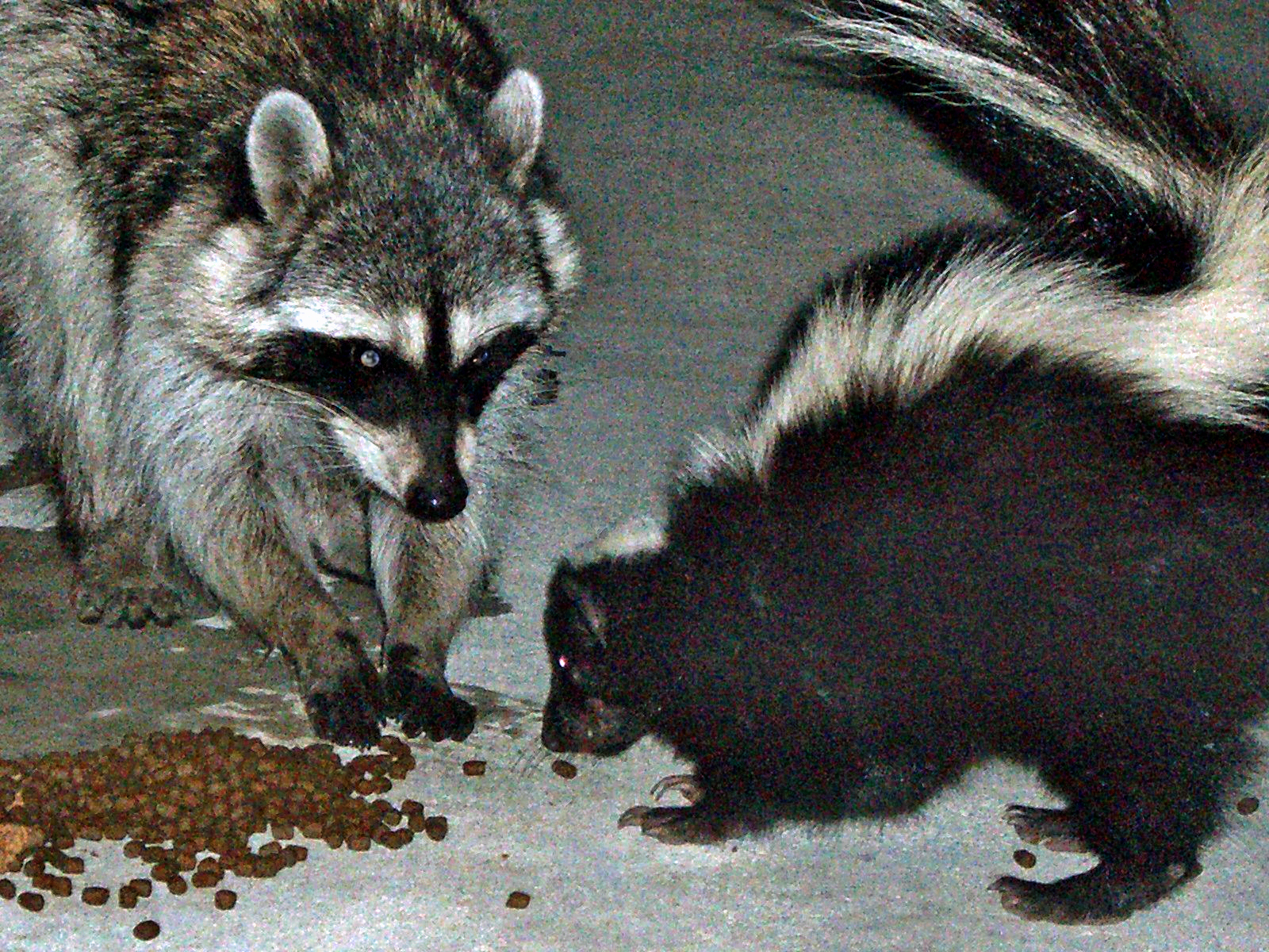 Skunk and Raccoon