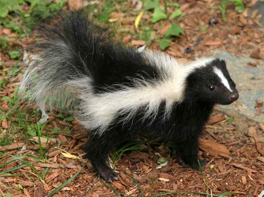 Skunk ready to spray
