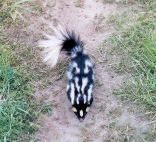Western Spotted Skunk