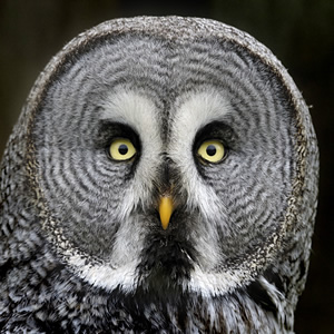 Great Owl