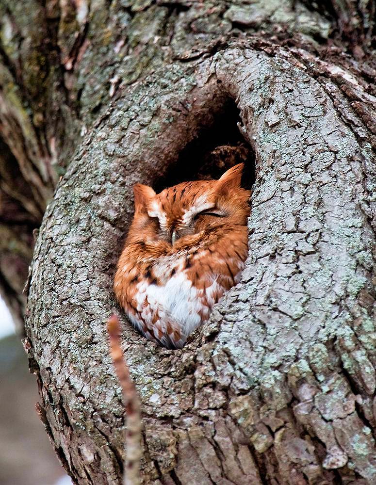 Rest Owl