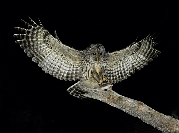 Owl in the Night