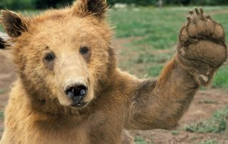 Bear waving Hello