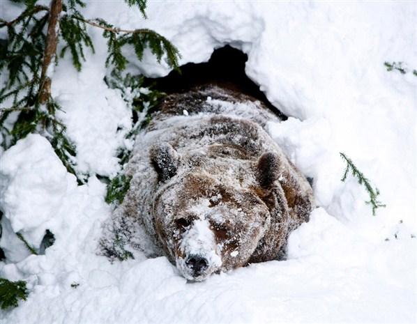 Bear awakes early