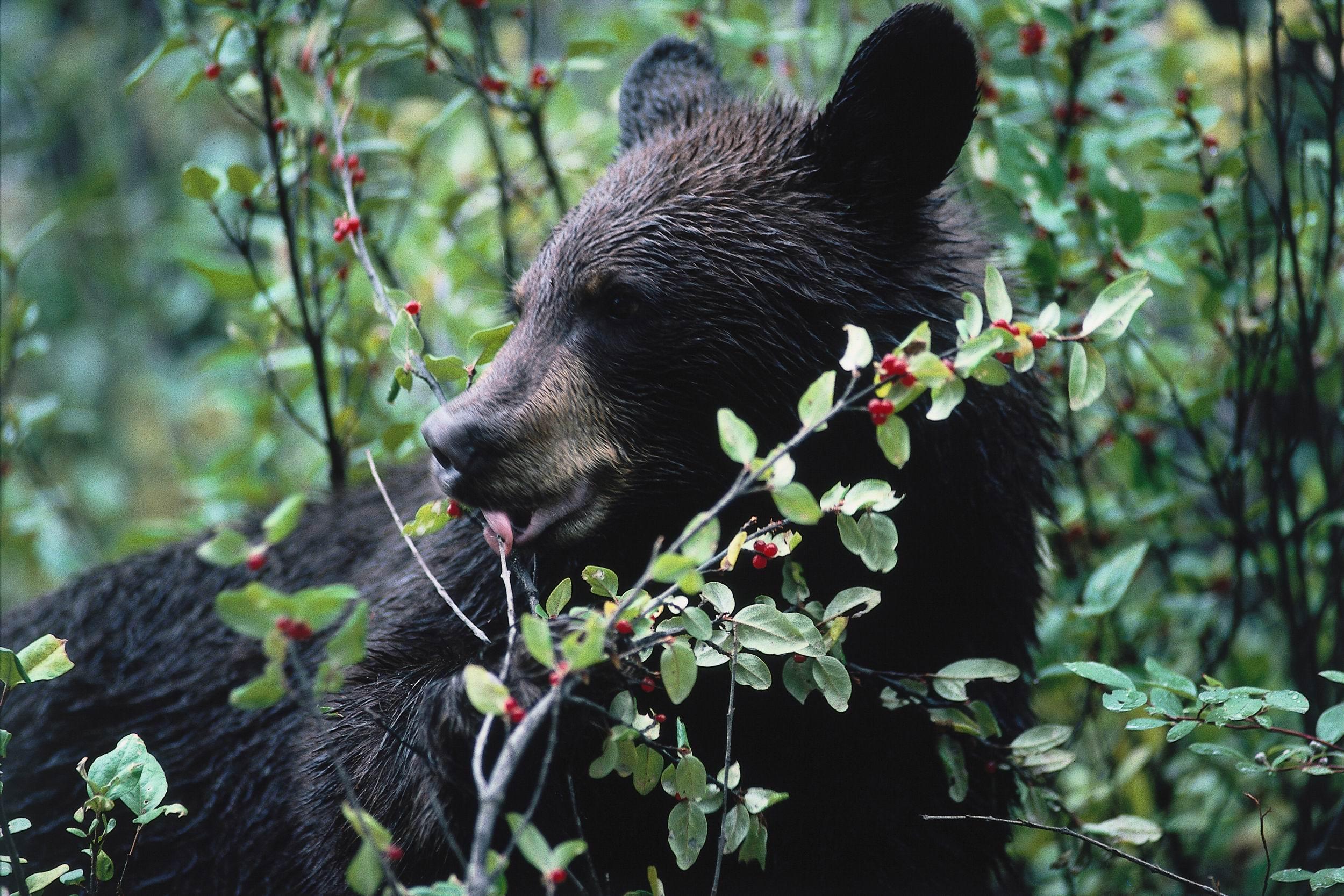 Black bear eating berries