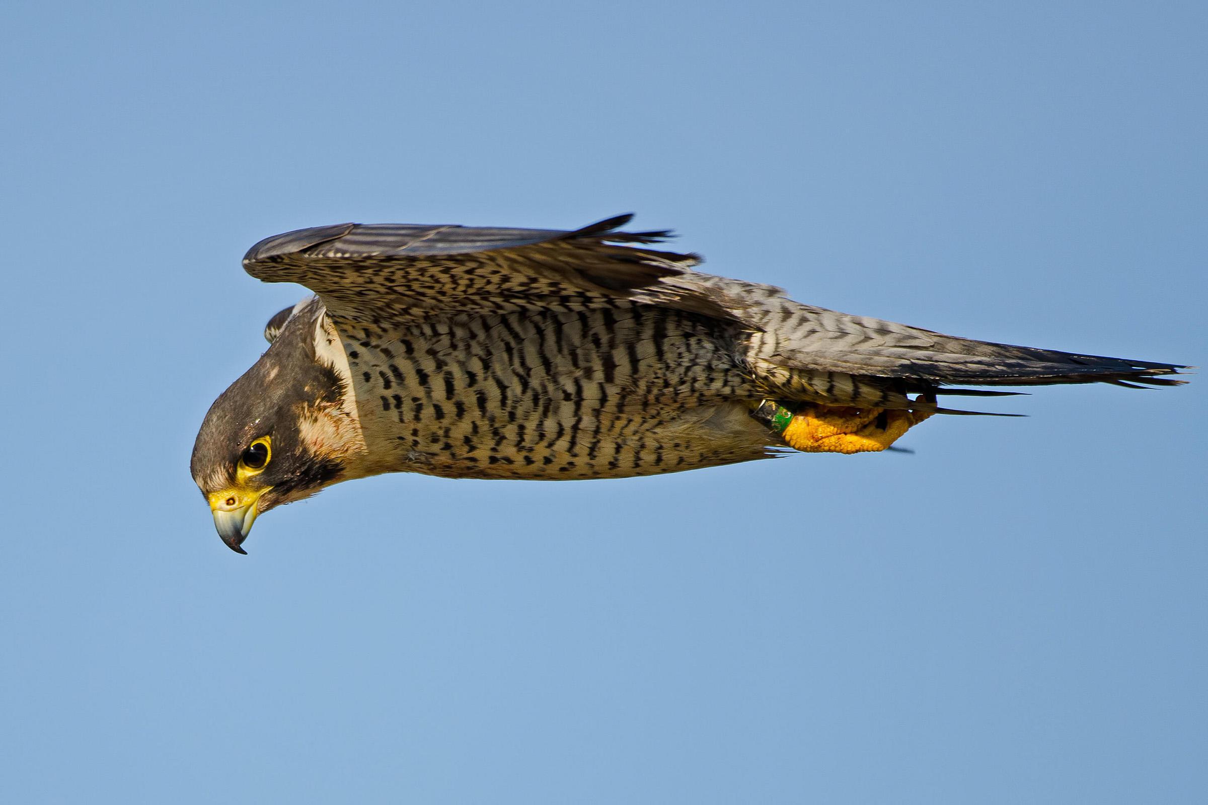 Falcon Medicine Soar Higher Than Ever Before